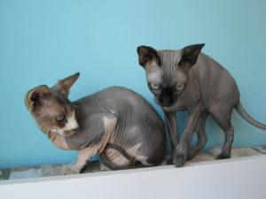 katten die bevriend zijn